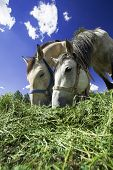 Two horses feeding on a sunny day poster