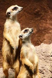 Meerkats in Java, Indonesia