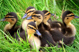 Ducklings Snuggled Together