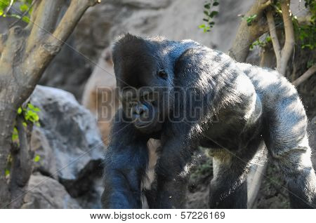 Strong Adult Black Gorilla on the Green Floor poster