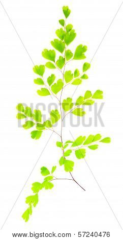 Young Green Fern Branch Isolated On White Background