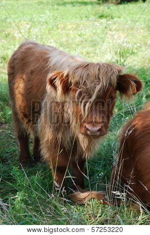 Scottish Calf
