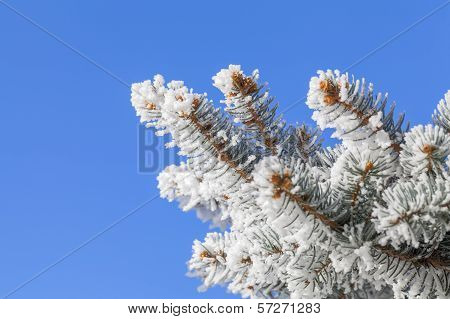Snow On Pine With Copy Space