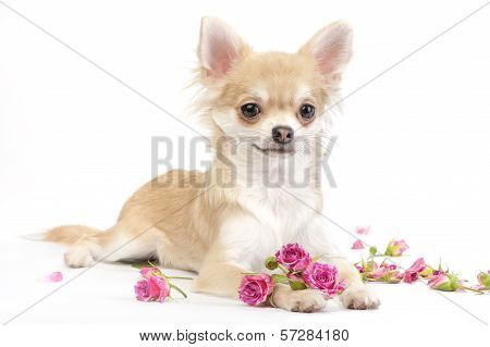 nice chihuahua dog with roses flowers
