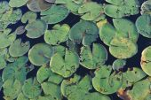 Bright green lilly pads floating atop a lake poster