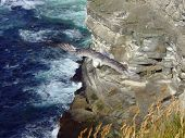 A fulmar hovers at a sea cliff at Marwick Head, Orkney, Scotland poster