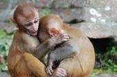 Baby rhesus macaque monkeys in Kathmand, Nepal poster