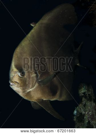 Orbicular Spadefish (platax Orbicularis)