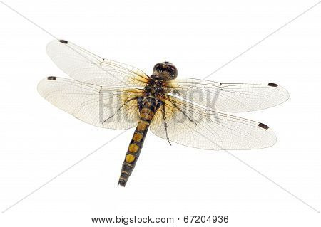 Dragonfly (Yellow-Spotted Whiteface) Close-up Isolated On White Background