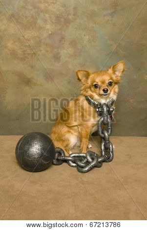 Ball And Chained Chihuahua
