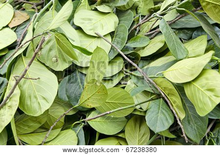 Fresh Green Betel Leaves In  Asia Market Background