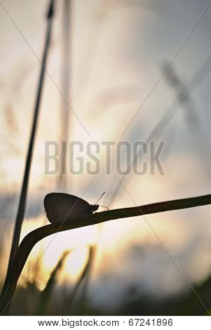 Butterfly on a straw of grass, setting sun