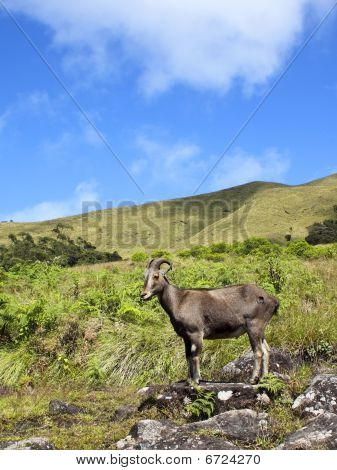 rare and endangered nilgiri tahr in eravikalum national park western ghats south india poster