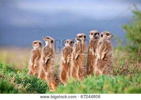 Oudsthoorn Meerkat Adventures