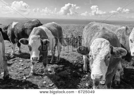 Vibrant Stock Photo Of Cows/bulls Over Looking The Ocean