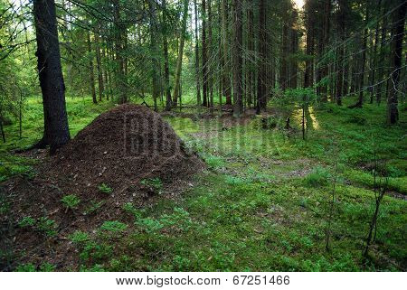Sunlight Is Going To Wake Up Huge Anthill In The Spruce Forest