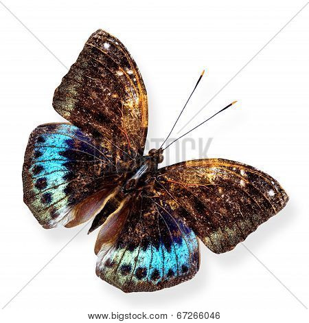 Black-tip Archduke upper wing profile in natural color isolated on white background with soft shadow poster