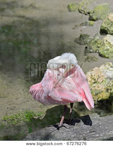 Preening time for Roseate Spoonbill.