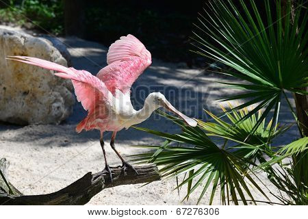 A Roseate Spoonbill prepares for takeoff.