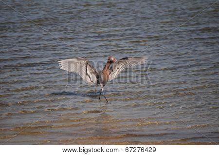 A Reddish Egret performs a hunting dance