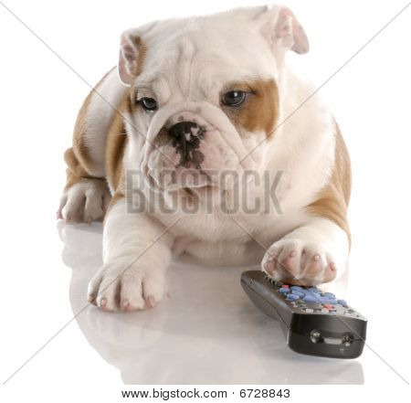 dog with remote control - english bulldog nine weeks old poster