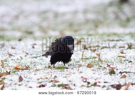 Black Crow Forraging For Some Seeds