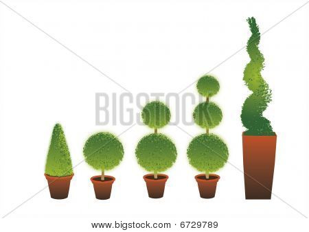 Topiary Shrubs