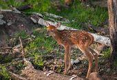 White-Tailed Deer (Odocoileus virginianus) Fawn Stands - captive animal poster
