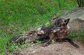 Black Wolf (Canis lupus) Feeds Pups Next to Den - captive animal poster