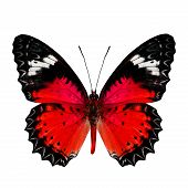 Nice of Red Butterfly in fancy color profile isolated on white background poster