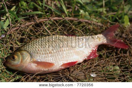 Just Caught Rudd Lying On Fishing Net