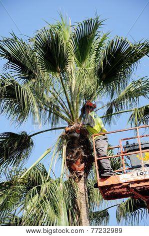 Spanish workman trimming a Washington Palm.