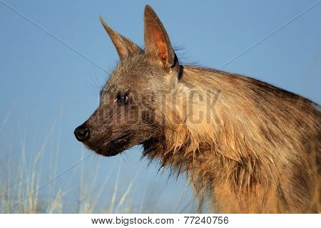Portrait of a brown hyena (Hyaena brunnea) against a blue sky, Kalahari desert, South Africa