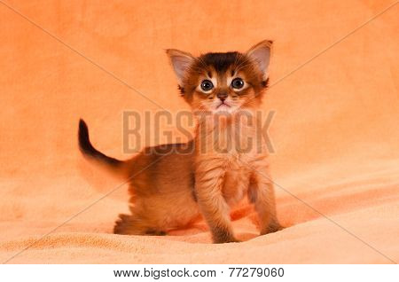 Interested purebred one month somali kitten looking at camera poster
