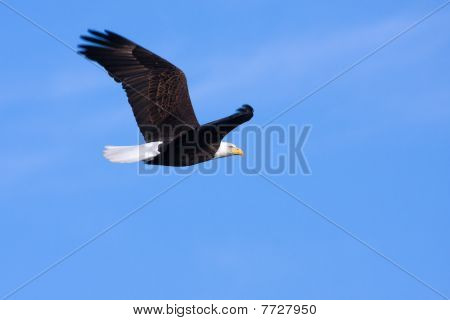 An image of an American Bald Eagle in Flight poster