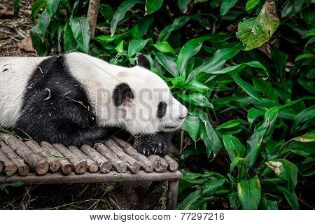 Giant panda in Singapore zoo