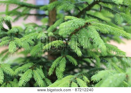 Young pine branch in spring