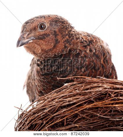Brown quail in nest