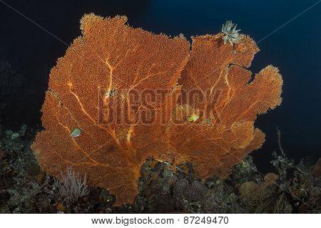 Orange Seafan Underwater In Andaman Sea, Thailand