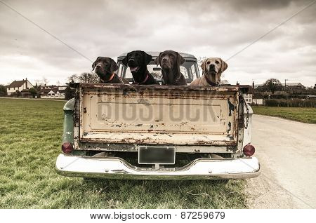 labradors in the back of a vintage truck