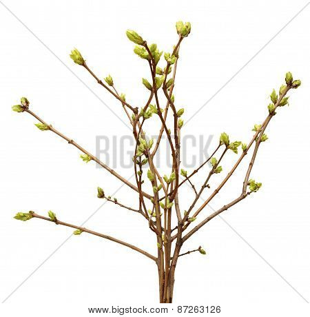 Spring branch of Tree, bud on a tree branch isolated on  white background.