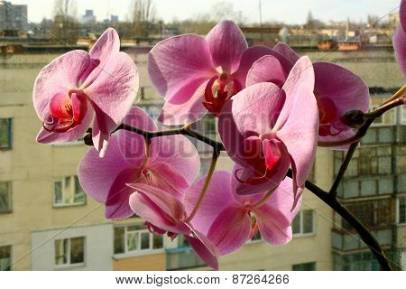 Beautiful Branch Of The Blossoming Pink Orchid