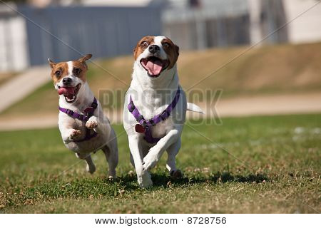 Energetic Jack Russell Terrier Dogs Running On The Grass