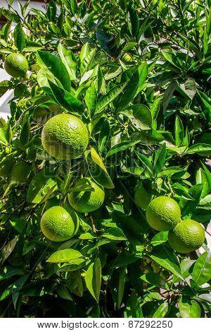 Unripened Oranges
