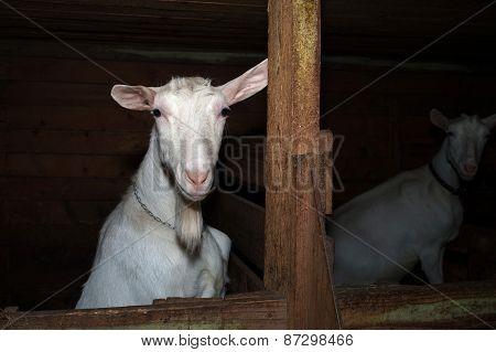 Two Saanen White Goat In Barn