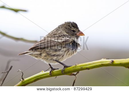 Ground finch bird in the Galapagos islands