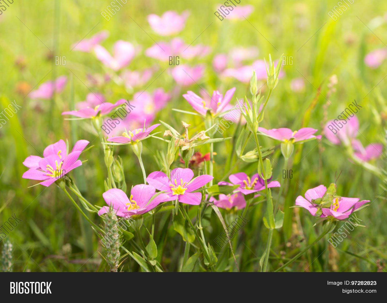 Meadow Pink Sabatia Image Photo Free Trial Bigstock