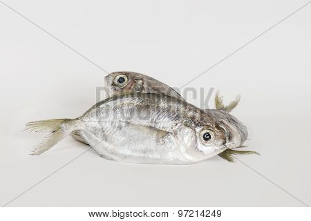 False Trevally Fish