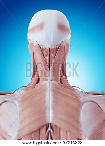 medically accurate illustration of the neck anatomy