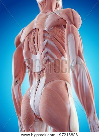 medically accurate illustration of the back muscles